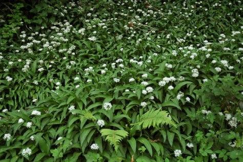 Ramsom_or_wild_garlic_-_geograph.org.uk_-_427580