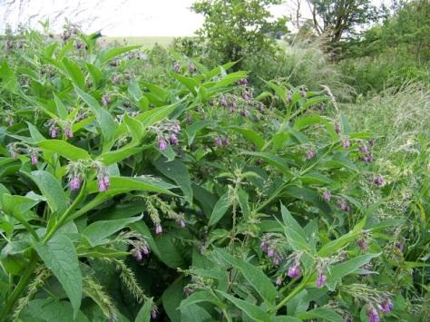 Common_Comfrey_(Symphytum_officinalis),_Bishopstone_-_geograph.org.uk_-_1360418