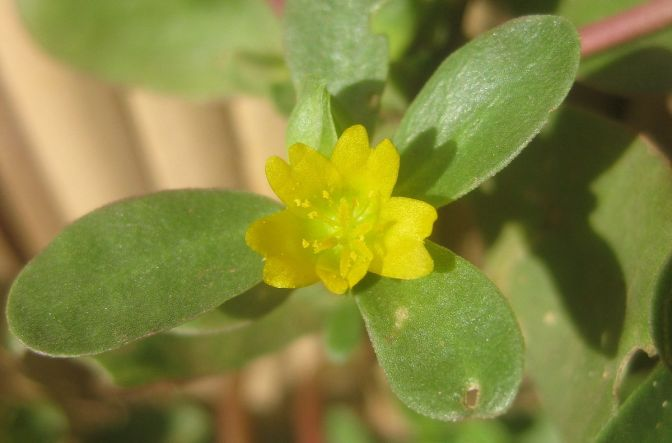 The Survival Series Part 14: Purslane